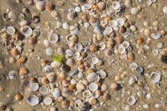 Denne skorupy morze śródziemnomorskie Obraz Stock