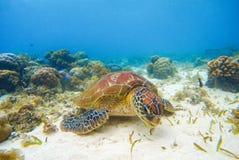 Denne tortoise łasowania gałęzatki na piaska dnie Biała koralowa rafa koralowa i piasek Zdjęcia Stock
