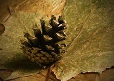 Denneappel bij bladeren van de de herfst de droge esdoorn Stock Foto