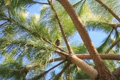 Denneappel in een boom Stock Afbeeldingen
