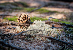 Denneappel in het bos Stock Afbeeldingen