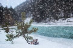 Denneappel op de boom Stock Afbeelding