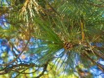 Denneappel op een boom Royalty-vrije Stock Foto's
