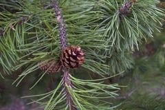 Denneappel op een tak in het bos Stock Foto