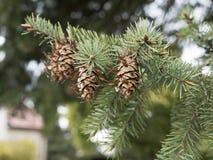 Denneappels die op pijnboomboom zitten Detail van boom met een naald Stock Foto
