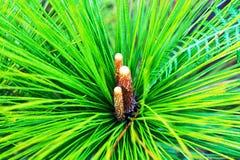 Denneappels en pijnboomtakken bij het Nationale Park van Phu Kradueng Stock Foto