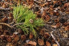 Denneappels en takjes op de bosvloer Stock Foto's