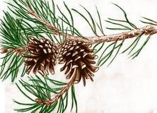 Denneappels op boomtak Stock Afbeelding