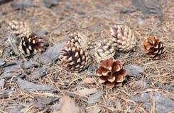 Denneappels op bosvloer Stock Afbeelding