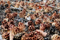Denneappels van bomen ter wereld Royalty-vrije Stock Afbeeldingen