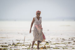 Dennego świrzepy żniwa zagrożona opłata temperatury wody wydźwignięcie Fotografia Royalty Free