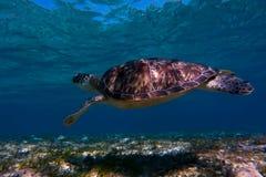 Dennego żółwia dopłynięcie w wodzie morskiej Gigantyczny denny żółw obraz royalty free
