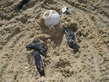 Dennego żółwia dziecka jajka na plaży i Hatchlings Zdjęcie Royalty Free