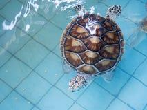 Dennego żółwia konserwaci centrum, Tajlandia Fotografia Royalty Free
