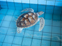 Dennego żółwia konserwaci centrum, Tajlandia Zdjęcia Royalty Free