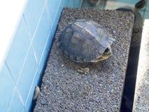 Dennego żółwia konserwaci centrum, Tajlandia Obrazy Royalty Free