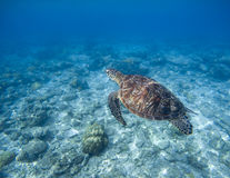Dennego żółwia podwodna fotografia Snorkeling z tortoise Dziki zielony żółw w tropikalnej lagunie Zdjęcia Stock