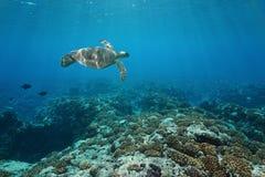Dennego żółwia podwodna rafa koralowa Pacyfik Polynesia Fotografia Royalty Free