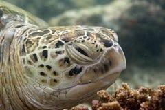 Dennego żółwia portreta zakończenie up Fotografia Stock
