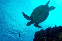 Dennego żółwia portreta zakończenie up podczas gdy patrzejący ciebie Obraz Stock