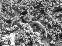 Dennego żółwia zerkanie od korala w Czarny I Biały tekstura wizerunku obraz stock
