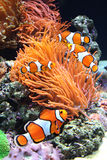 Dennego anemonu i błazenu ryba Zdjęcie Royalty Free