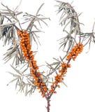 Dennego buckthorn gałąź z liśćmi odizolowywającymi na białym tle Zdjęcie Royalty Free