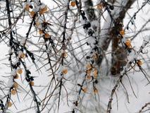 Dennego buckthorn krzak w zimie Zdjęcie Stock