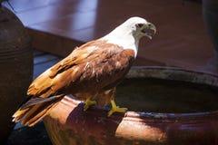 Dennego Eagle obsiadanie na garnku, Phang Nga zatoka, Tajlandia obrazy royalty free