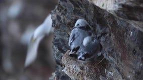 Dennego frajera kurczątka, Laridae, wśród gniazdeczka na falezy twarzy przy oddziałami wojskowymi przewodzą, aberdeenshire na wcz zbiory