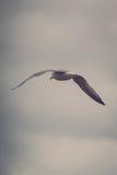Dennego frajera latanie na Posępnie niebie Zdjęcie Royalty Free