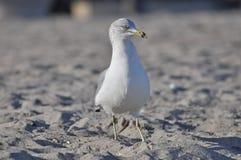 Dennego frajera ptak na plaży Fotografia Royalty Free