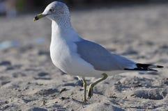 Dennego frajera ptak na plaży Fotografia Stock