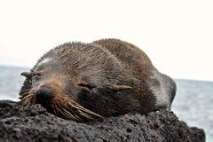 Dennego lwa ciucia, Galapagos wyspy, Ekwador Zdjęcie Royalty Free