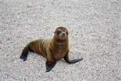 Dennego lwa ciucia, Galapagos wyspy, Ekwador Zdjęcie Stock