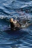 Dennego lwa dopłynięcie W Monterey zatoce Kalifornia Zdjęcie Royalty Free
