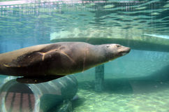 Dennego lwa dopłynięcie w wodzie, w akwarium Zdjęcie Royalty Free