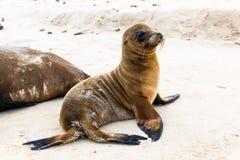 Dennego lwa dziecko na plażach Galapagos obrazy stock
