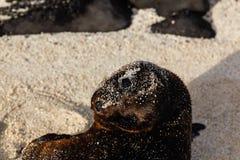 Dennego lwa dziecko zakrywający w piasku i patrzeć my Zdjęcia Royalty Free