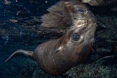 Dennego lwa foka podwodna podczas gdy nurkujący Galapagos Obrazy Royalty Free