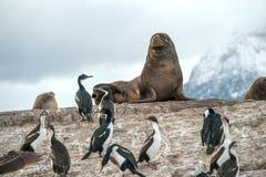 Dennego lwa i królewiątko kormoranu kolonia, Tierra Del Fuego Argentyna, Chile, - Obraz Royalty Free