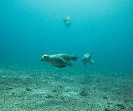 Dennego lwa nur, morze cortez, baj California obrazy stock