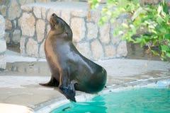 Dennego lwa relaksować Zdjęcia Royalty Free