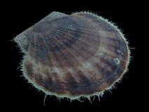 Dennego przegrzebka Patinopecten yessoensis Mizuhopecten yessoensis odizolowywający na czarnym tle obraz stock
