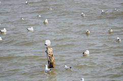 Dennego ptaka bielu Seagull Zdjęcie Stock