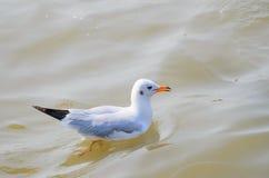 Dennego ptaka bielu Seagull Zdjęcie Royalty Free