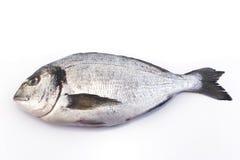 Dennej ryba dorade odizolowywający na bielu obraz royalty free