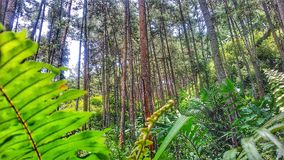 dennenbossen Stock Foto's