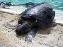 Denni żółwie Zdjęcia Stock