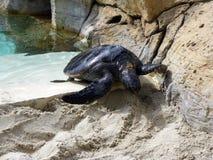 Denni żółwie Fotografia Royalty Free